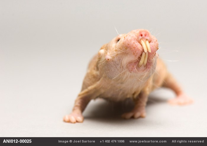 A naked mole rat (Heterocephalus glaber) at the Lincoln Children's Zoo.