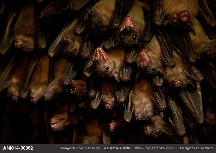 Egyptian fruit bats at a huge bat cave near Jacana Lodge in the Maramagambo Forest. The bats here have tested positive for the Marburg virus, a deadly hemorrhagic fever.