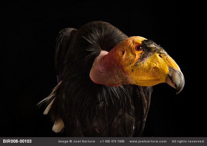 A captive California condor (Gymnogyps californianus) at the Phoenix Zoo.