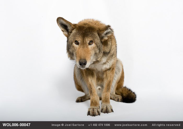 A critically endangered red wolf (Canis rufus gregoryi) at the Great Plains Zoo.
