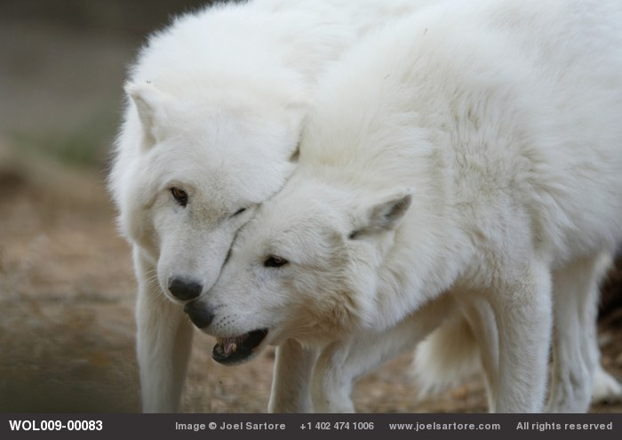 related pictures arctic wolves - photo #26
