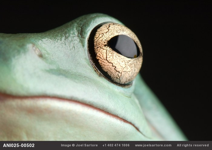 The eye and face of a White's tree frog, Pelodryas caerulea.