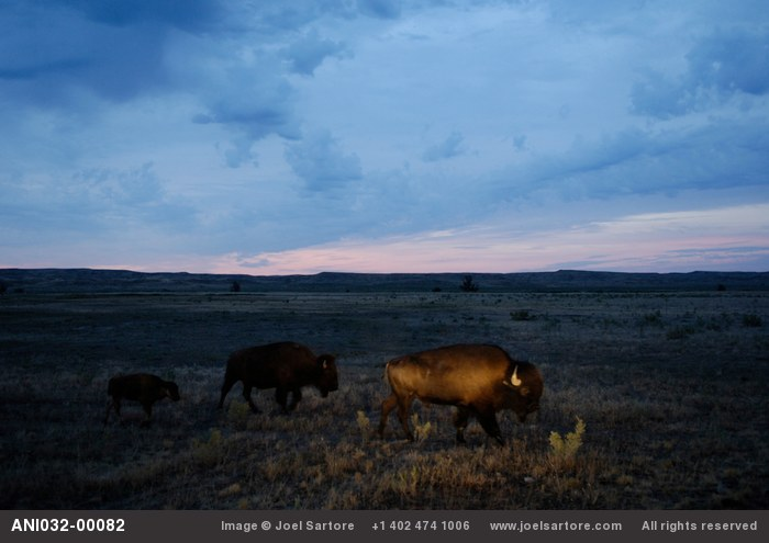 Bison graze on a ranch near Malta, MT.  The aim of the project, a joint effort between of the American Prairie Foundation and The World Wildlife Fund is to triple the size of the herd and allow them to roam free across the Upper Missouri River Breaks ecosystem.