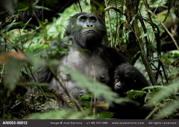 An adult and juvenile member of the Habinyanja family of gorillas, one of four semi-habituated families who will tolerate humans in their presence.  This family group makes its home at the north end of Bwindi Impenetrable Forest National Park.