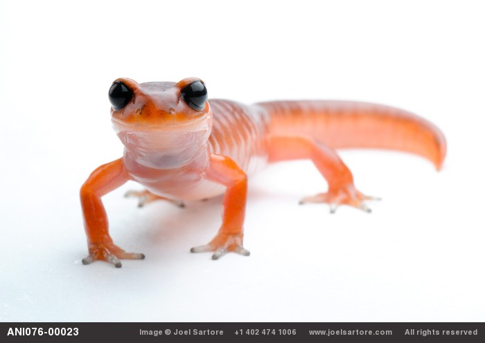 An Ensatina salamander (Ensatina eschscholtzii eschscholtzii), a species of salamandar that's native to the San Francisco Bay area at the Museum of Vertebrate Zoology at U.C. Berkeley.