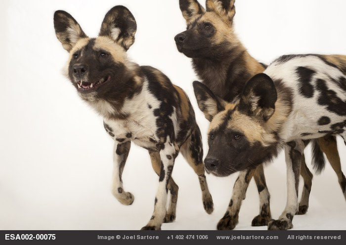 Endangered African wild dogs (Lycaon pictus) at the Omaha Zoo.