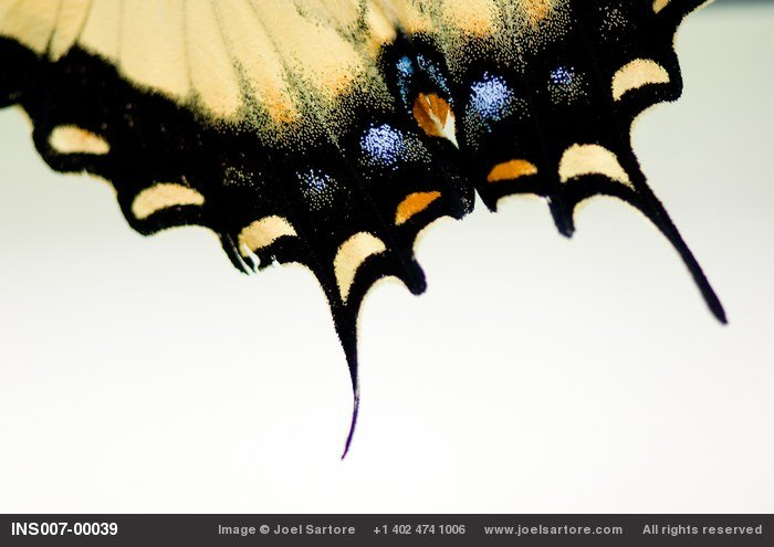 A male tiger swallowtail butterfly (Papilio glaucas).