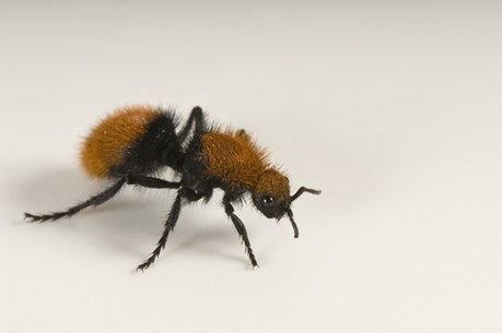 Mahogany Wasp Sting http://www.joelsartore.com/stock/search/?search=umbrella+wasps